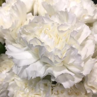 Гвоздика біла